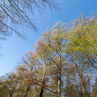 European beeches new leaves in spring forest