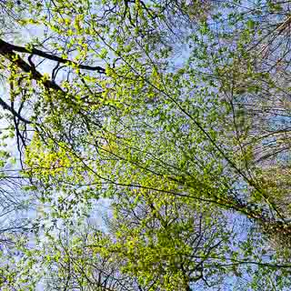new leaves of European hornbeam (Carpinus betulus)