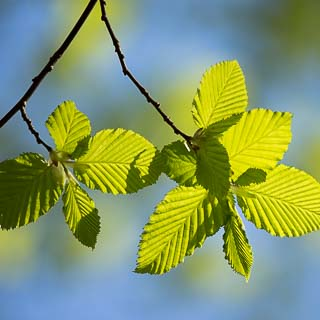 new hornbeam leaves with blurred background