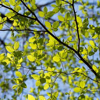 branch with new leaves of common (European) hornbeam Carpinus betulus in spring forest