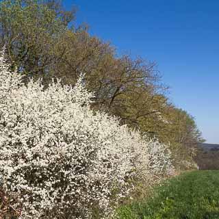 flowering Prunus spinosa hedge at the Schönbuch forest edge