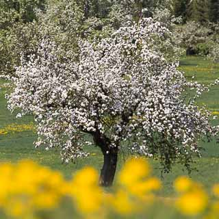 apple blossom and dandelion