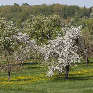 fruit tree blossom (Streuobstwiese)
