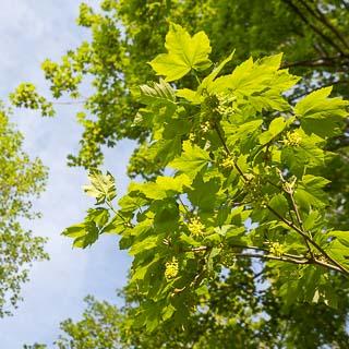 flowering Acer pseudoplatanus (sycamore maple)