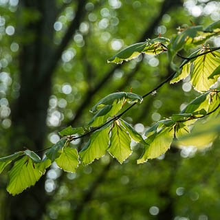 new Fagus sylvatica leaves