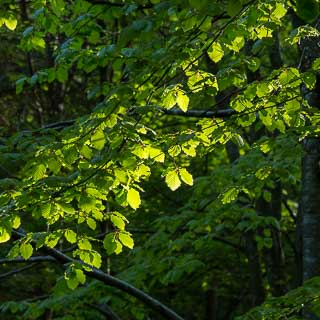 spring in the forest - new leaves of Fagus sylvatica in the morning light