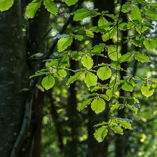 new Fagus sylvatica (European beech) leaves in spring