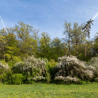 flowering apple trees at the edge of the forest