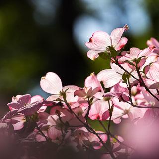 flowering dogwood Cornus florida 'Rubra'