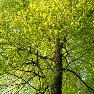 new leaves of Fagus sylvatica - European beech in spring