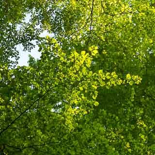 new Fagus sylvatica (European beech) leaves