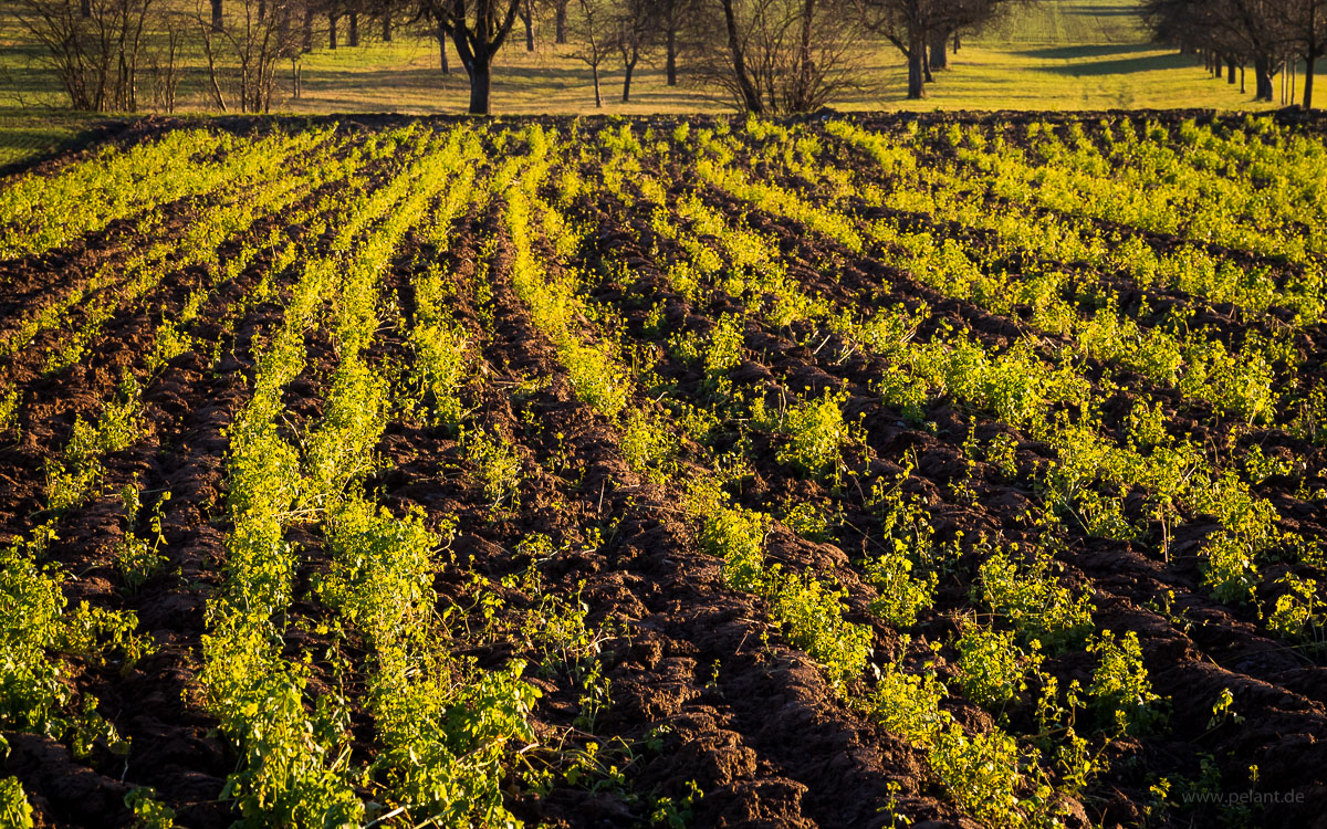 ploughed mustard field in the evening light