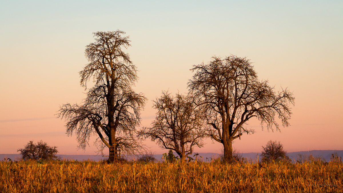 three pear trees on the Schaichberg in the evening light