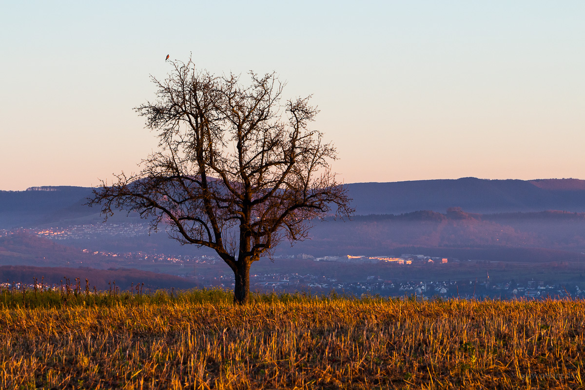 fruit tree in the evening light with view of the Albvorland and the edge of the Schwäbische Alb