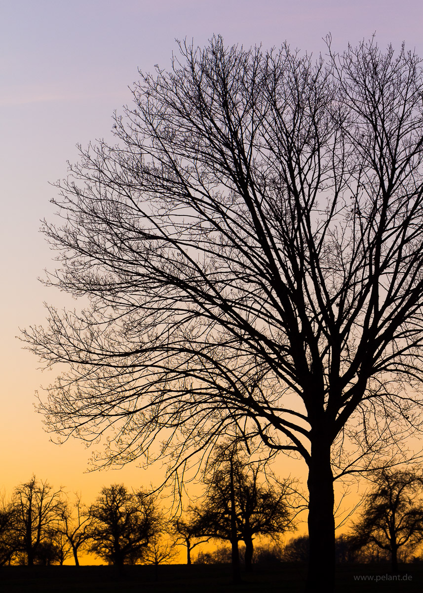 silhouette of a bare-branched maple tree (Acer platanoides) at dusk