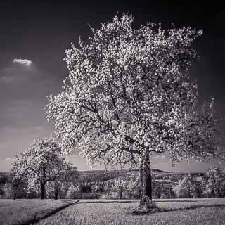 Infrarot: Birnenblüte auf dem Schaichberg