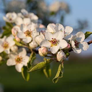 pear blossom branch