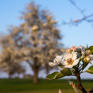 pear blossom with blurred pear tree in the background