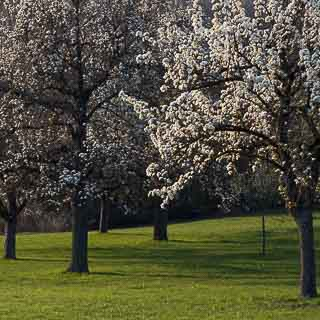 flowering pear trees on an orchard