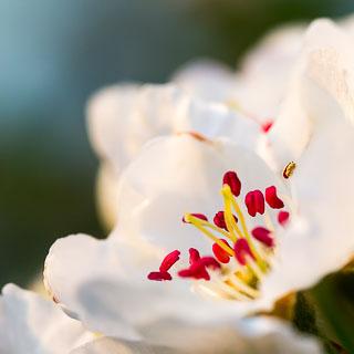 pear blossom macro photograph