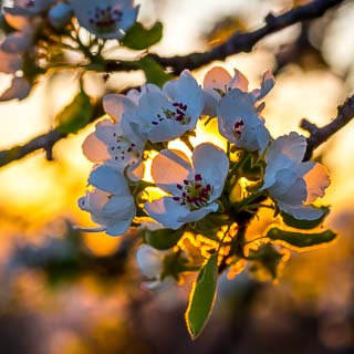 pear blossom in the evening light