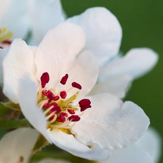 pear blossom macro