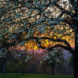 sunset on a Streuobstwiese (orchard) with flowering pear tree