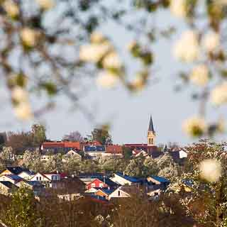 view of Häslach´s church tower with flowering pear trees