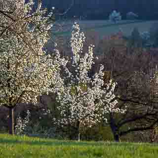 flowering pear trees on a hillside orchard