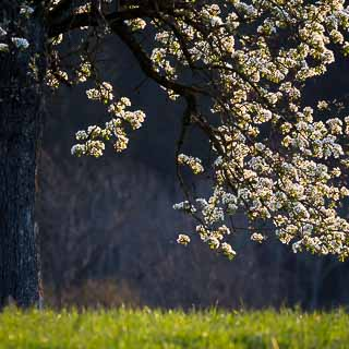 backlit flowering pear tree with blurred background