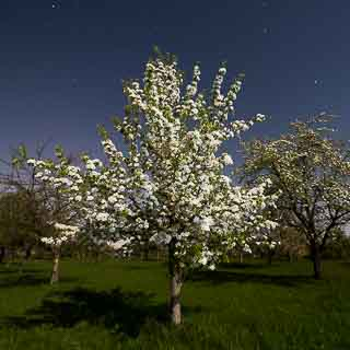 pear blossom night shot on a full moon night