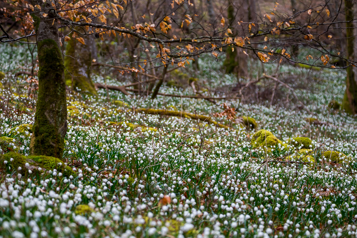 sea of flowers of Leucojum vernum in the forest