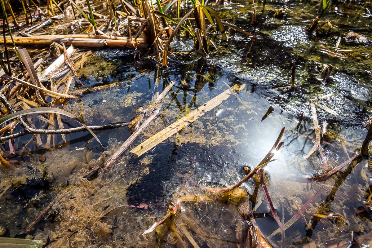 Frisch geschlüpfte Kaulquappen in einem See mit Resten von Laich