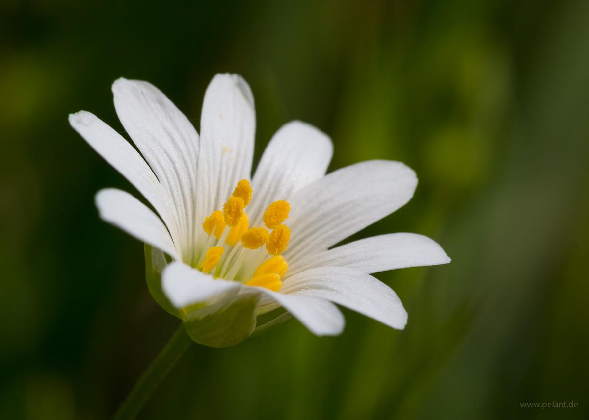 Blütennahaufnahme Große Sternmiere (Stellaria holostea) mit unscharfem Hintergrund