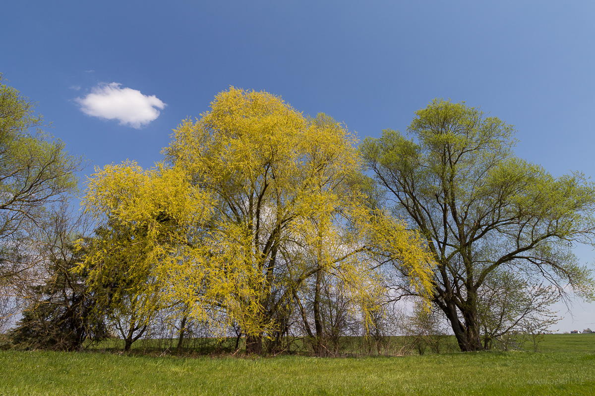 flowering willow trees