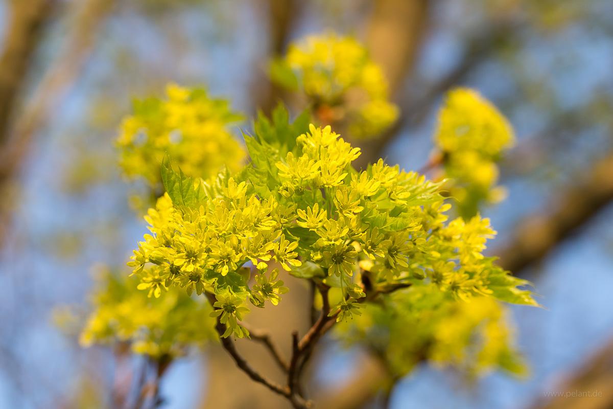 Spitzahorn Blüte (Acer platanoides)