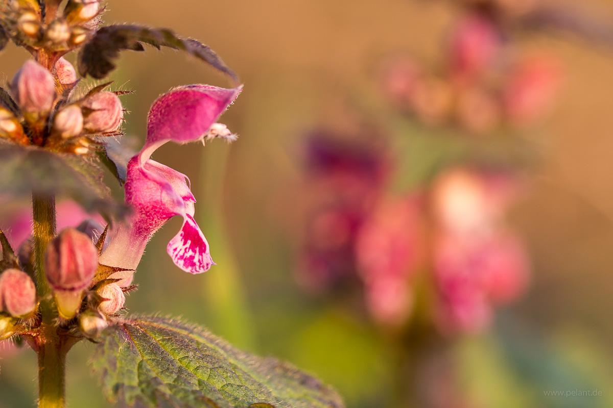 Blühende Gefleckte Taubnessel (Lamium maculatum)