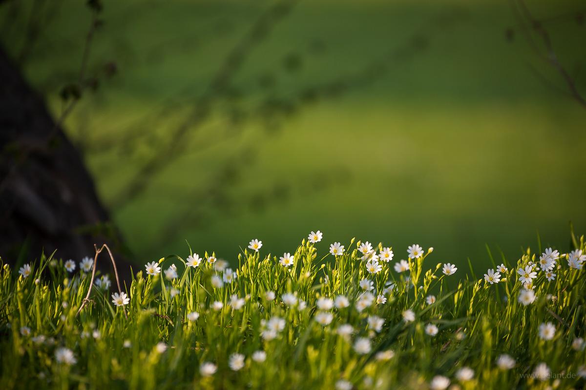 Blühende Große Sternmieren (Stellaria holostea) am Waldrand