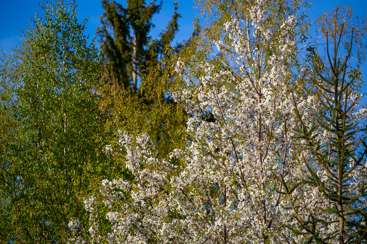 flowering wild cherry tree
