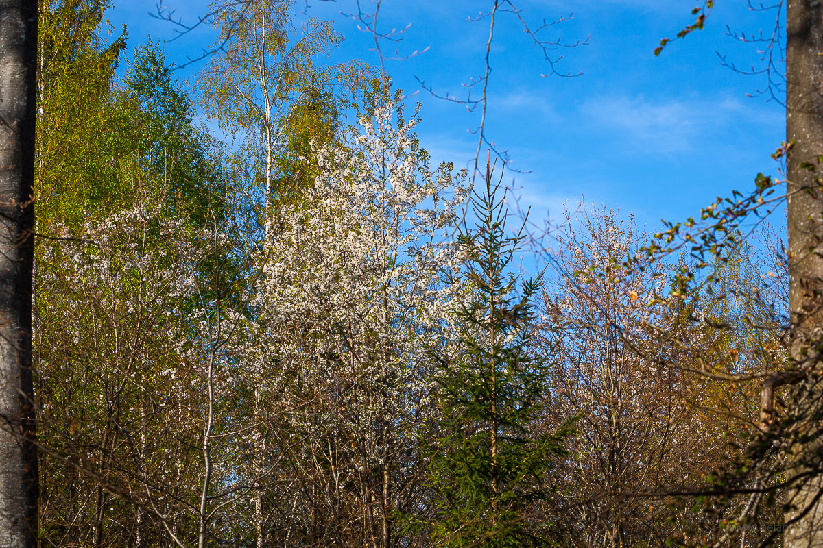 flowering wild cherry trees in the spring forest