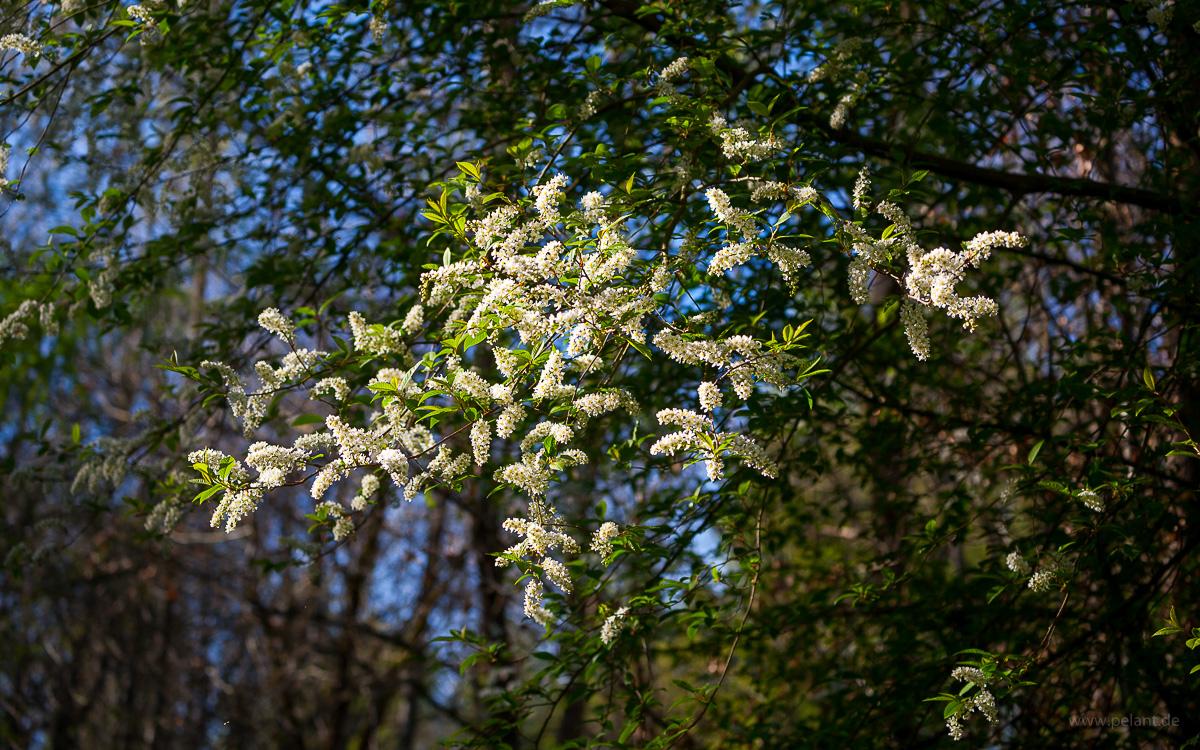 flowering bird cherry (Prunus padus)
