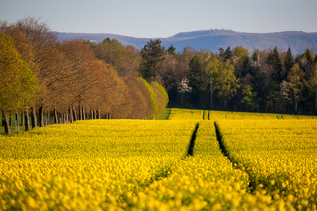 lanes in a flowering rapeseed field