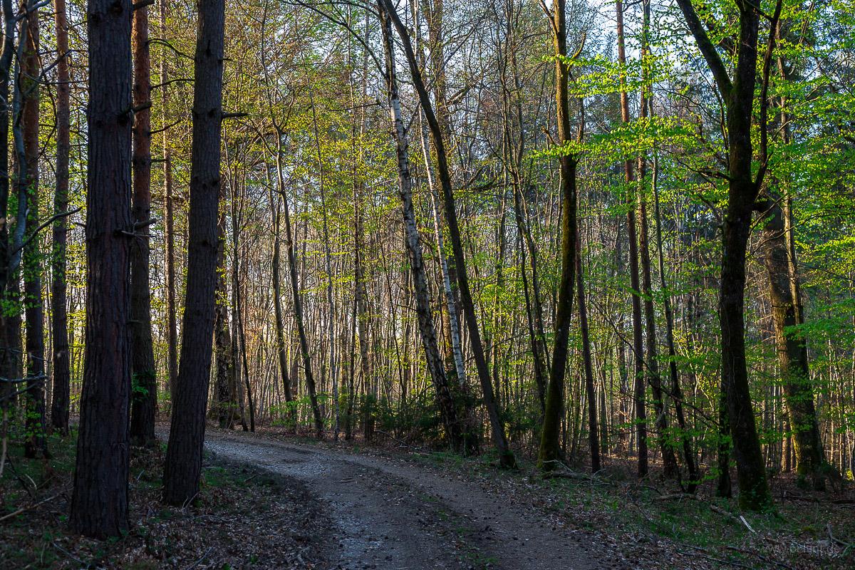 forest track in spring in the Schönbuch forest