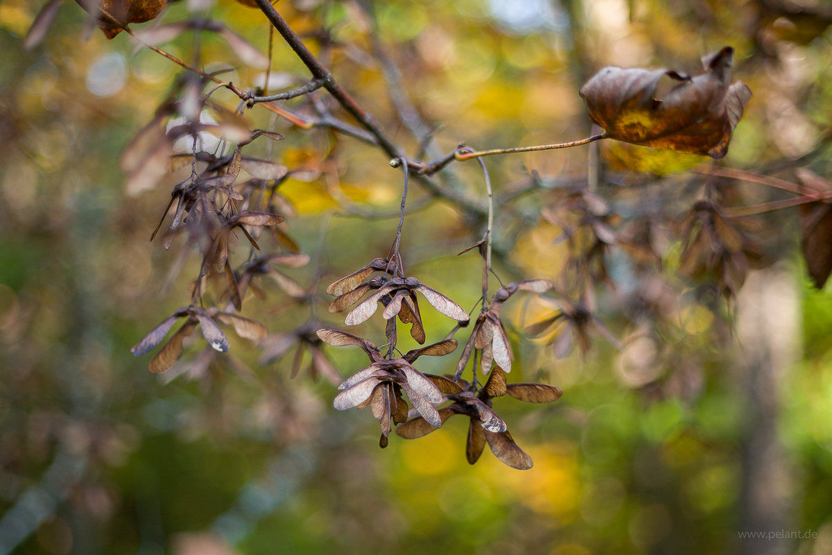 Acer pseudoplatanus seeds