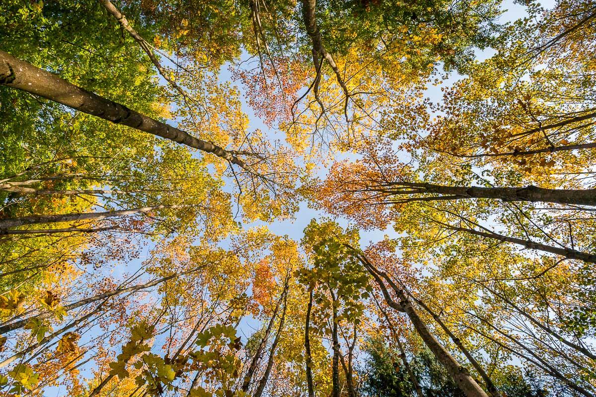 Acer pseudoplatanus forest