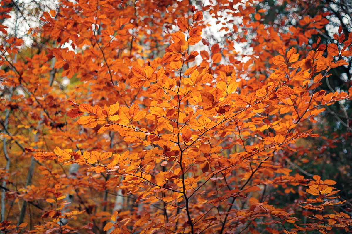 branches of common beech (Fagus sylvatica) in autumn