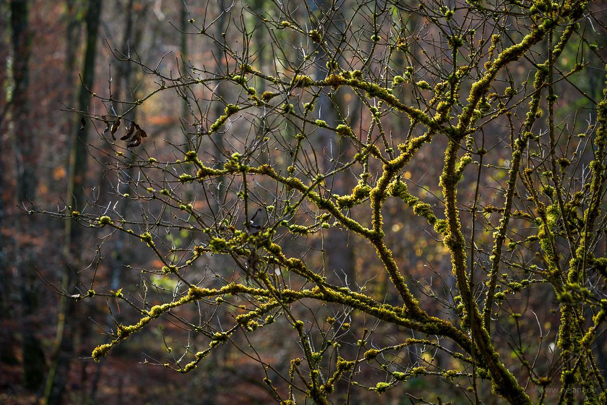 moss-covered elderberry