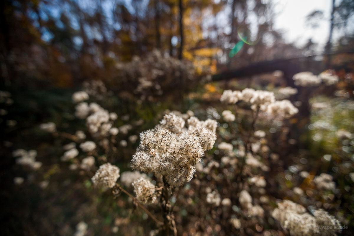 Eupatorium cannabinum seeds with blurred background
