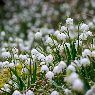 Leucojum vernum (spring snowflake)