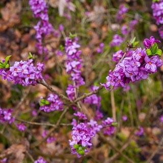 flowering Daphne mezereum shrub